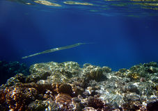 Needlefish and coral. Underwater view of Needlefish swimming above tropical coral reef Stock Image