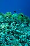 Needlefish on coral reef Stock Photo