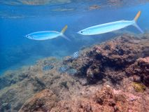 Needlefish swimming close to the surface royalty free stock photos