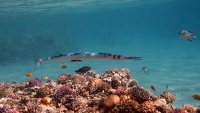 Needlefish - Tylosurus crocodilus on the Coral Reef. Underwater photo of Needlefish Crocodile Houndfish - Tylosurus crocodilus, Hurghada, Egypt royalty free stock photo