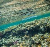 Needlefish , Tylosurus crocodilus. Swimming in red sea near the beautiful coral reef Stock Photos