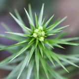 Needlelike leaves of pine Stock Photo