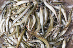Needlenose Gar fish in a Cambodian Market Royalty Free Stock Photo