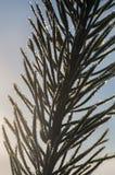 结霜的杉木needles特写镜头 库存照片