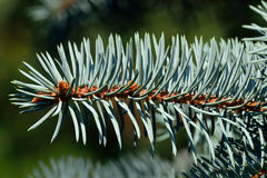 Needles of blue spruce Royalty Free Stock Images