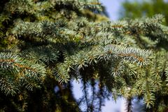 Needles of blue spruce tree  Picea pungens Royalty Free Stock Photography