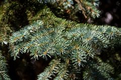 Needles of blue spruce tree  Picea pungens closeup Stock Photos