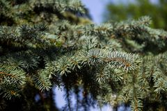 Needles of blue spruce tree  Picea pungens closeup Royalty Free Stock Photography