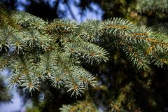 Needles of blue spruce tree  Picea pungens Stock Photo