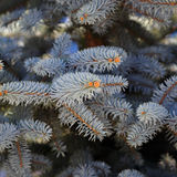 The needles on the branches of blue spruce in the garden Royalty Free Stock Image