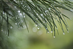 Needles of cedar after a rain. Royalty Free Stock Photography