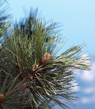Needles and cones of the first year of a pine Stankievich Stock Photos