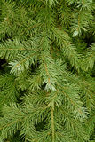 Needles of coniferous tree Royalty Free Stock Photos
