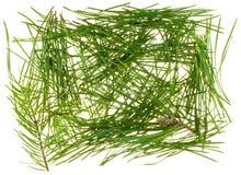 Needles of coniferous trees Stock Photography
