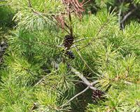 Needles of eastern white pine Pinus strobus native to eastern North America. With pine cones royalty free stock photography