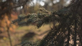 Needles fir close up. stock video