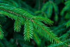 Needles. fir-needle royalty free stock photo