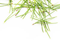 Needles Of An Evergreen Tree Royalty Free Stock Image