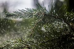 Needles of pine branches on the background of splashing water.  stock photos