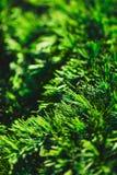 Needles of pine Stock Photo