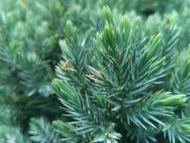 Needles. Pine needle and spiderweb Stock Photo