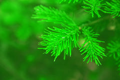 Needles of a pine tree Royalty Free Stock Photos