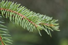 Needles of a pine tree Stock Image