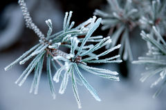 Needles of pine tree with ice crystals Stock Image