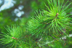Needles of the pine tree macro Royalty Free Stock Photo