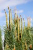 Needles of a pine tree (Pinus sylvestris) Royalty Free Stock Images