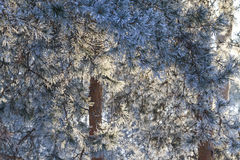 Needles of pine trees in the morning sun lit frost Royalty Free Stock Photography