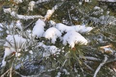 Moscow, the snow on the pines, winter. royalty free stock image