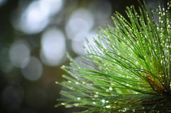 Needles on pinetree branch background. With dots bokeh Royalty Free Stock Image