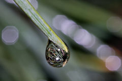 Needles in raindrop. Macro photo of pine needle with raindrop in which is mirroring other needles Stock Photos