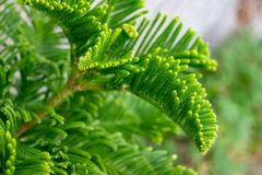 Young green branch of pine-tree, close-up royalty free stock images