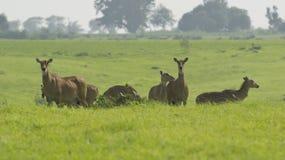 Neelgai Bluebull flock Arkivfoton
