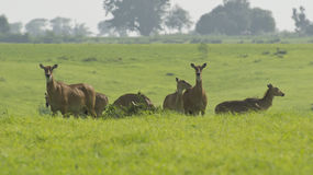 Neelgai Bluebull Herd Stock Photos