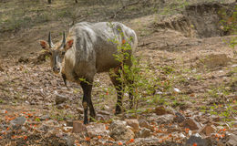 Neelgai Stock Photo