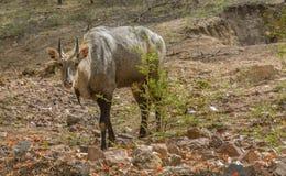Neelgai Stock Photo