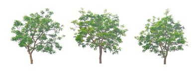 Neem叶子是灌木是美丽的 图库摄影
