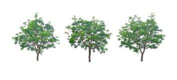 Neem叶子是灌木是美丽的 免版税库存照片