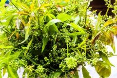 Neem är grön. Fotografering för Bildbyråer