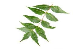 neem листьев Стоковая Фотография