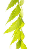 Neem Stock Photo