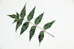 Neem. Natural medicine fresh neem leaves has healing properties Royalty Free Stock Photo