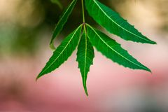 Neem-Baum oder Azadirachta-Indica Blatt mit unscharfem Hintergrund stockbilder