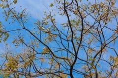 Neem drzewo zdjęcia royalty free