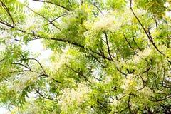 Neem drzewo Sadao Lub tona fotografia stock