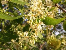 Neem flowers. The neem flowers are small in size and have pleasant odour. The have high medicinal properties Royalty Free Stock Photos