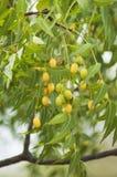 Neem frö på trädet royaltyfri foto